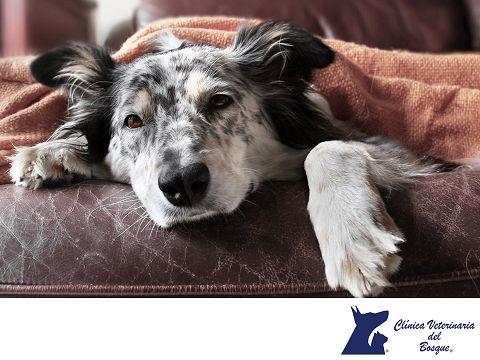 Si estoy enfermo de gripe ¿puedo contagiar a mi mascota? LA MEJOR CLÍNICA VETERINARIA DE MÉXICO. La influenza también conocida como gripe es una enfermedad viral que afecta a muchas especies y dependiendo del serotipo puede afectar aves, humanos y algunos otros primates, sin embargo, la gripe humana no afecta a perros y gatos. En Clínica Veterinaria del Bosque te invitamos a visitar nuestra página web www.veterinariadelbosque.com, para conocer todos nuestros servicios.  #veterinaria