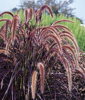Love this stuff! Ornamental Grass, Pennisetum (Fountain Grass)  Gorgeous annual ornamental grass Long, slender, rich burgundy leaves.  Long, slender, rich burgundy leaves. Smoky pink foxtails shimmer in the slightest breeze. Satisfying in both tubs and garden beds from spring through frost.