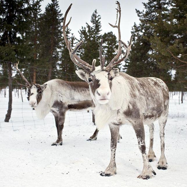 Reindeer Cuteness this reminds me of saint Matthew island