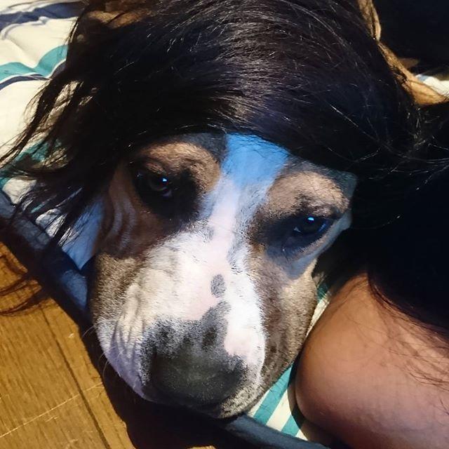こんな人どこかに居そう😆www ・ ・  #娘の髪の毛 #乗せてみた #人間みたい #ピットあるある #愛犬 #アメリカンピットブルテリア #americanpitbull ピットブル #かつらみたい