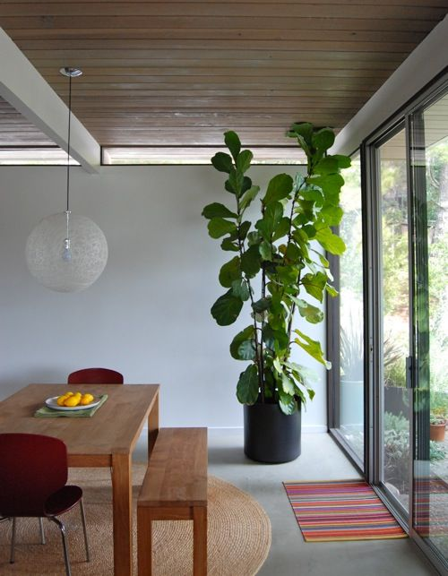 Ficus Lystrata Love Indoor Plants For The Home พืชใน