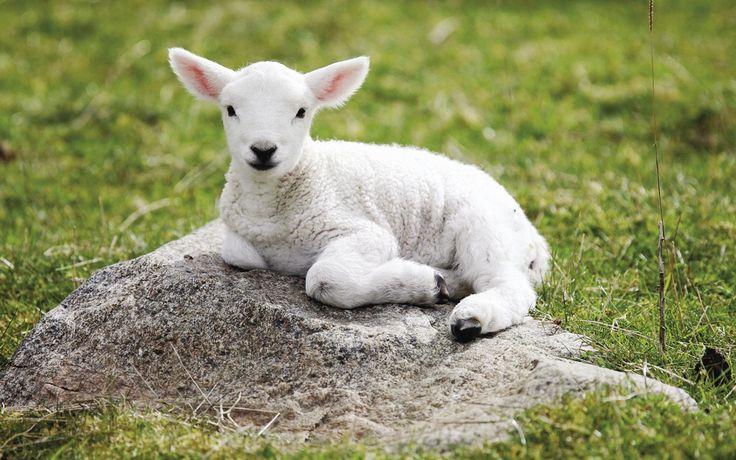 Baby Sheep Sitting Wallpaper Animals Pinterest Lamb