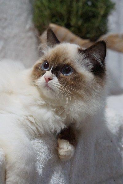 Ragdoll Kittens For Sale In The Usa Kittens For Sale Now Ragdoll Kittens For Sale Ragdoll Kitten Kitten For Sale