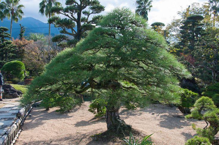 156 best images about niwaki topiary on pinterest for Zen garden trees