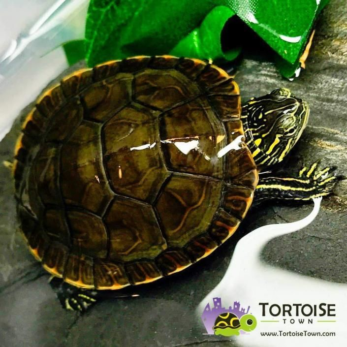 Spiny Softshell Turtle For Sale Online Buy Baby Spiny Softshell Turtles For Sale Near Me In 2020 Western Painted Turtle Freshwater Turtles Eastern Painted Turtle
