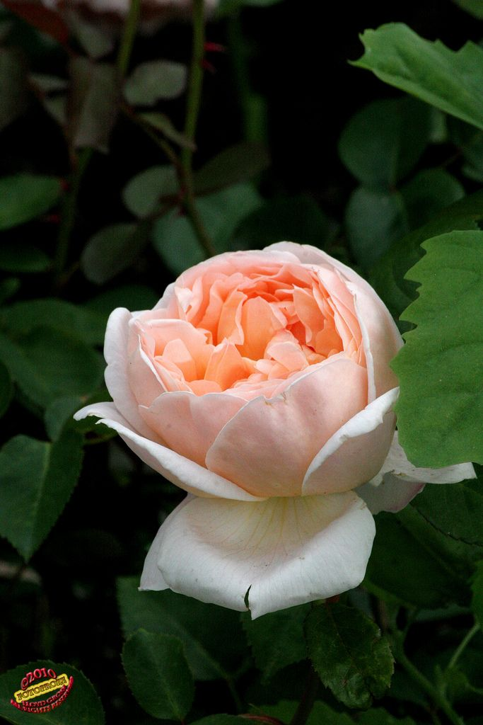 'Evelyn' | Shrub. English Rose Collection. Bred by David C. H. Austin (United Kingdom, 1992). | Flickr - © photoproze