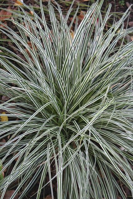 ~white edge of Carex 'Everest' brightens the shade garden