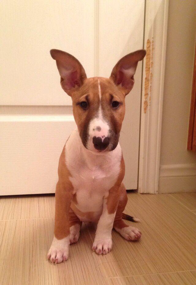Aria, my miniature bull terrier <3