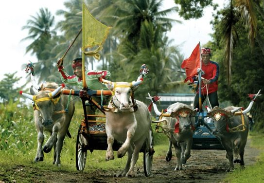 Makepung is an inherent tradition of the farmers of Jembrana, West Bali. Unlike in Madura where jockeys ride bulls or cows, in Bali, jockeys race on buffalos, as cows are respected as the holy animal of the gods.