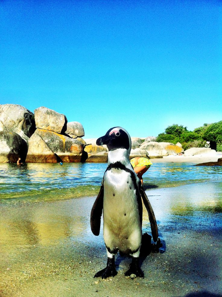 Boulders  Beach, South Africa.. #penguins