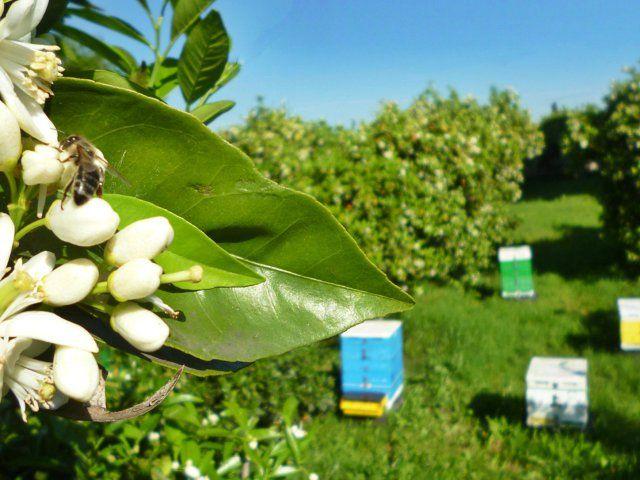 Το μελισσοκομείο στην ανθοφορία της πορτοκαλιάς, στον κάμπο της Άρτας την άνοιξη.