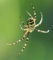 """Résultat de recherche d'images pour """"araignée dangereuse pour l'homme"""""""