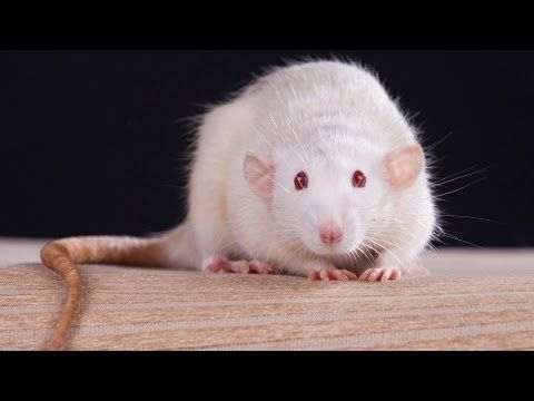 How to Understand Rat Sounds | Pet Rats - YouTube
