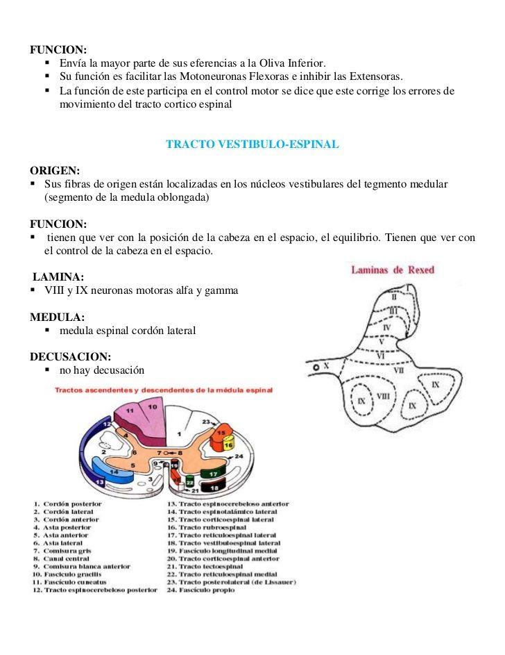 Participan: Núcleo Basales, Área Motora Suplementaria, Corteza Premotora y Corteza Prefrontal.</li></ul><br />Nivel 2:<br...