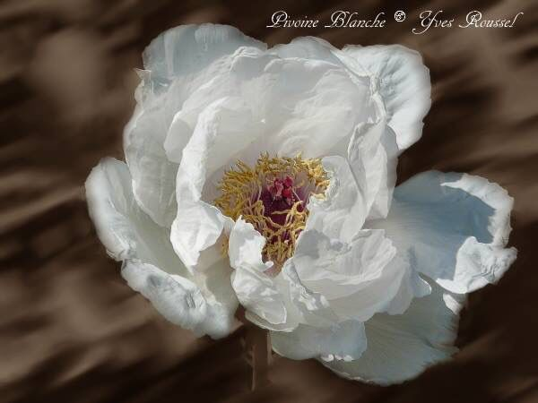 White Peony touched on sepia background with motion blur and Gaussian I photographed the garden plants in Paris ©Yves Roussel http://www.mabellephoto.com/photo-art-pivoine-blanche-fond-flou-sepia-p1040778-fleurs-8d4d83.htm
