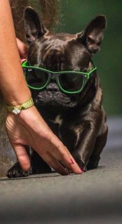 'Super Cool' French Bulldog Puppy this looks just like my baby!!!