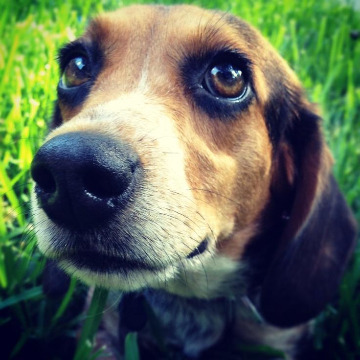 Beagle Beagle Beagle!