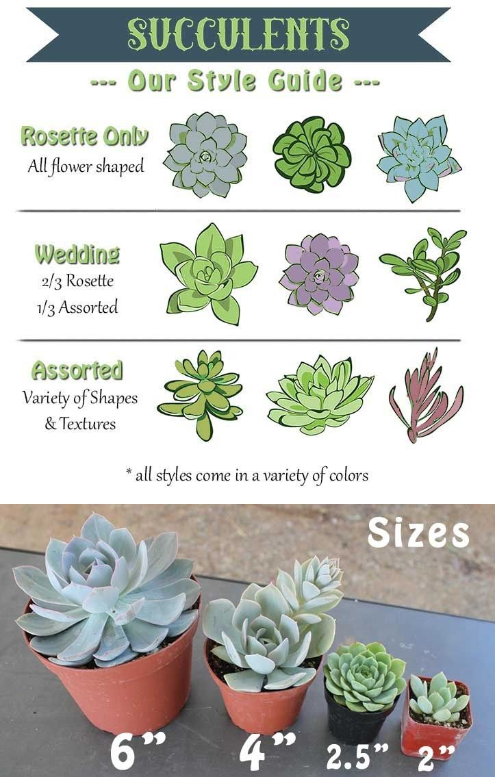 Succulent Types And Sizes Guide Wedding Ideas