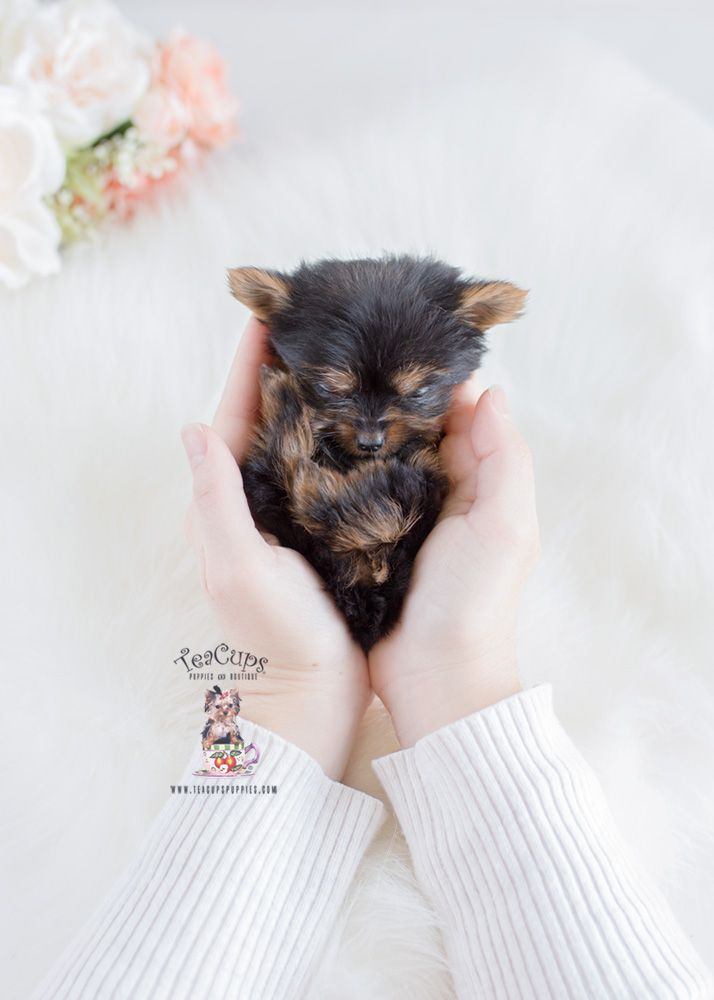 Micro Teacup Yorkie Puppy For Sale 238 B Teacup Yorkie Puppy