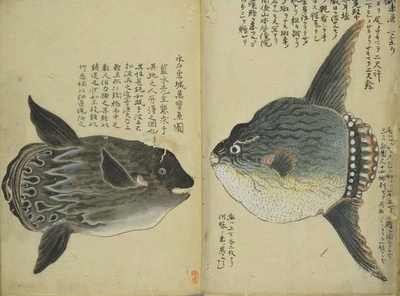 Mola Mola/SunfishJapan Illustration, Scientific Illustration, Fish Illustration, Animal Art, History Art, Mola Ukiyo, Japanese Illustration, Mola Mola Sunfish, Nature History