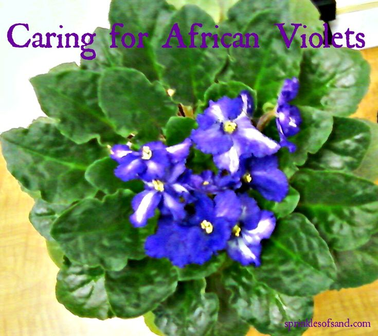 Caring for African Violets