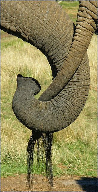 images of  Elephant tails | Elephant Tail and Trunk, South Africa | Flickr - Photo Sharing!