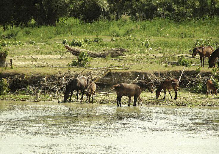 Letea Forest / Danube Delta horses. Horses Photographs Photograph - Danube Delta Wild Horses 2 by Gabi Costea