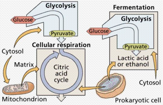 metabolism and biology textbook Galactose and fructose metabolism due to deficient enzymes leads to turbidity of lens proteins (cataract) blood glucose is controlled by different hormones and metabolic processes.