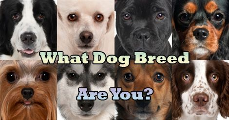 What Dog Breed Are You?   Quiz Social (I was a Husky!)