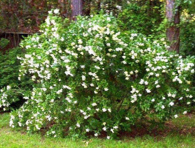 Gardenia bush.