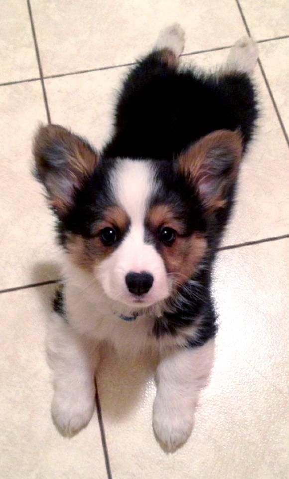 I think black and brown Corgis are the cutest.   ...........click here to find out more     http://googydog.com