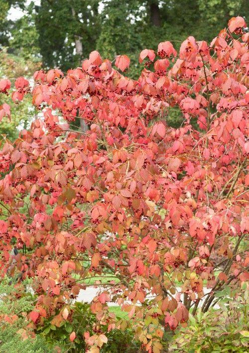 Fusain d'Europe, arbustes à floraison printanière Meilland Richardier