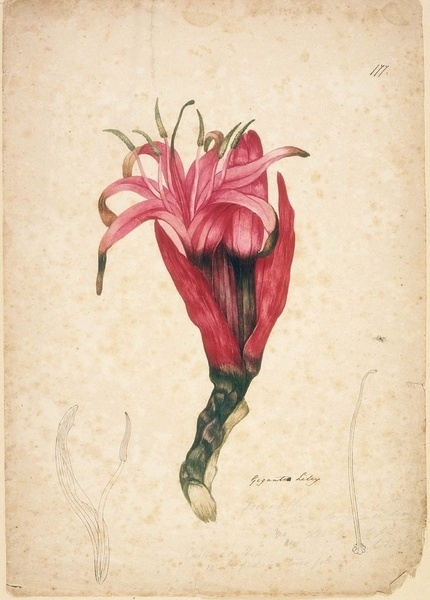 Gigantia Lily, watercolour drawing attributed to John William Lewin.  Find more information about this image: http://acms.sl.nsw.gov.au/item/itemLarge.aspx?itemID=404931  From the collections of the Mitchell Library, State Library of New South Wales http://www.sl.nsw.gov.au/events/exhibitions/2012/lewin/index.html