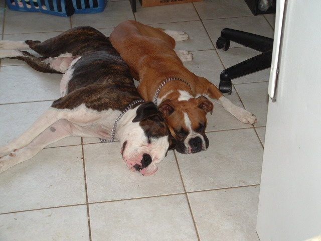 What do you think they were doing to wear themselves out?  They're boxers!  Of course they were running and tearing it up!