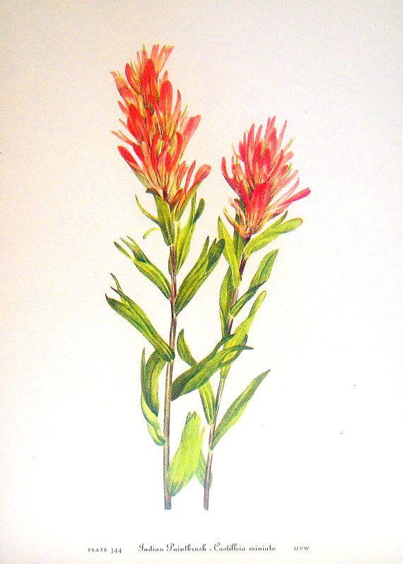 Flower Print - Indian Paintbrush, Owl Clover - 2 Sided - 1950's Vintage Botanical Illustration Book Page