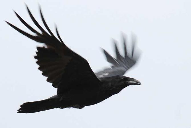 Grand corbeau en vol
