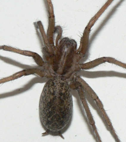 Hobo Spider Bite – Identification and Treatment Guide. URL:http://spiderbites.net/