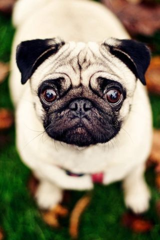 Baby pug HD Wallpapper for iPhone Pug puppies, Pugs