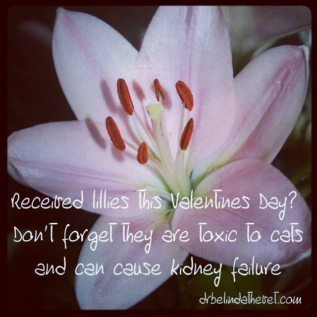 If you love your partner and your cat be sure to avoid lillies this Valentines Day. They cause severe acute kidney failure in cats. I've had patients die from eating them. Very sad. #vet #cat #cats #valentinesday #lillies #flowers #toxic #love