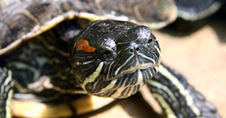 Cómo notar la diferencia entre una tortuga hembra o una macho. Las diferentes especies de tortugas varían en tamaño, color y comportamiento, lo que genera un mundo de reptiles diverso y fascinante. A pesar de algunas diferencias de género, la diferencia entre una tortuga hembra o macho se determina a través de un cuidadoso examen del cuerpo y buscar ciertas características físicas. Cuando sabes lo que buscas, ...