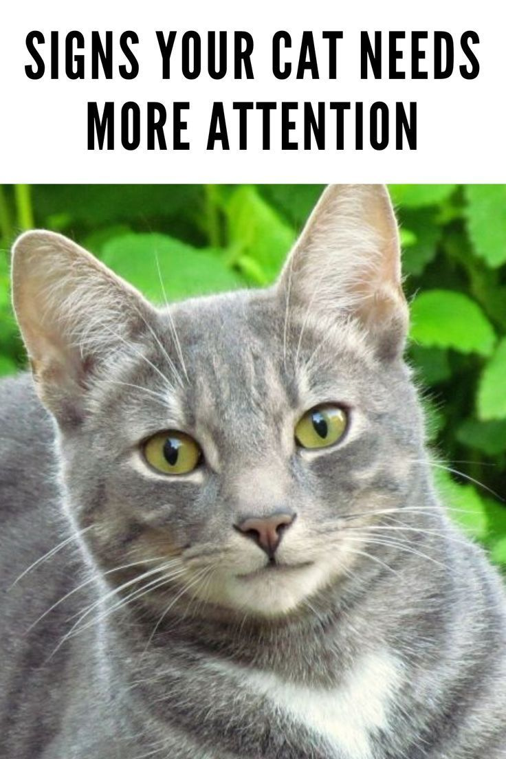5 Signs Your Cat Needs More Attention Welfar4us In 2020 Cat Behavior Cats Funny Cats