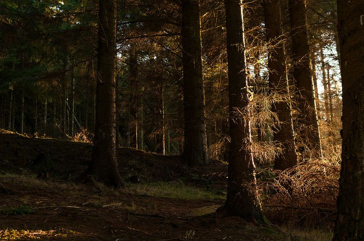 Pine trees in late evening light. Ireland