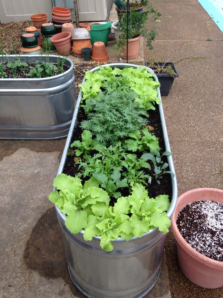 chinese cabbage mustard greens and kale growing in galvanized metal water trough for early
