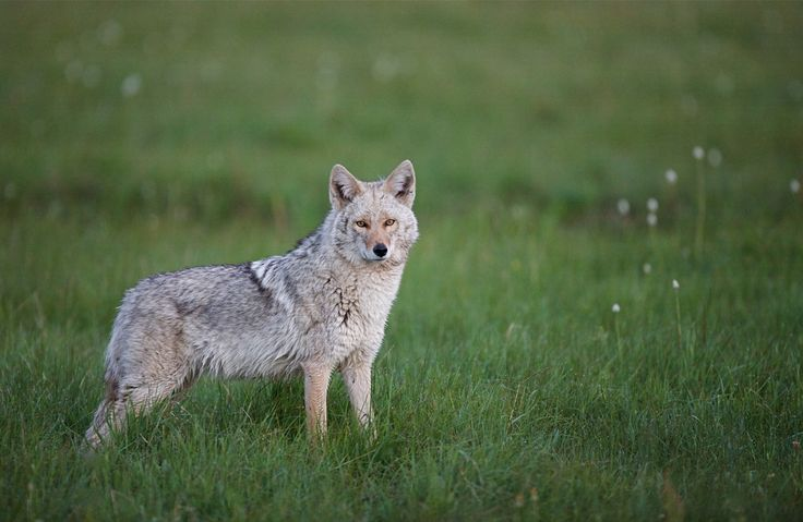 9 best Coywolves images on Pinterest | Coyotes, Wolves and ...