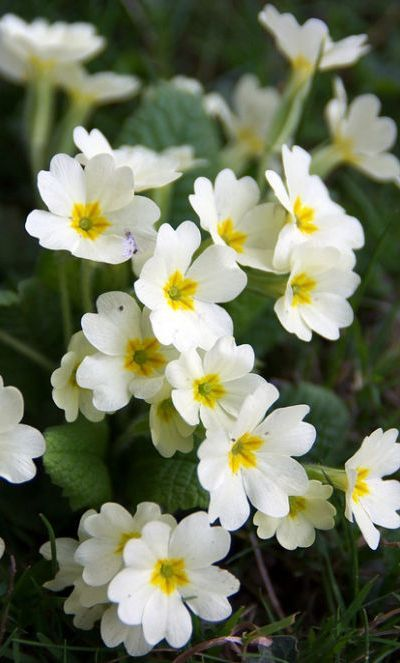 English primrose- does well with low light- in the back yard by the tree (where the golf thing is? add for some color?)