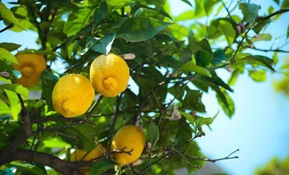 Limoni in vaso, come curarli. Tutti i segreti per una pianta stupenda | I sempreverdi