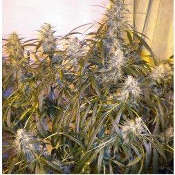 Number One SuperAuto Feminised Seeds  #marijuanaseeds