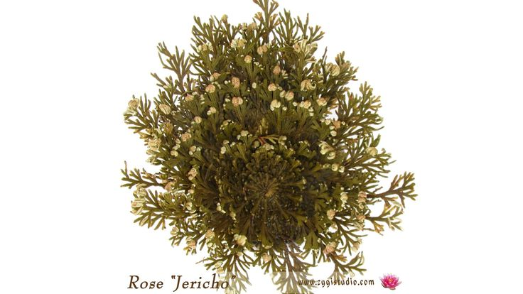 Timelapse of Opening Rose of Jericho.