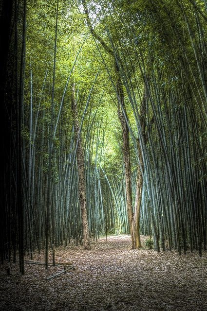 Bamboo forest Cherokee NC.  Koren had a blast!