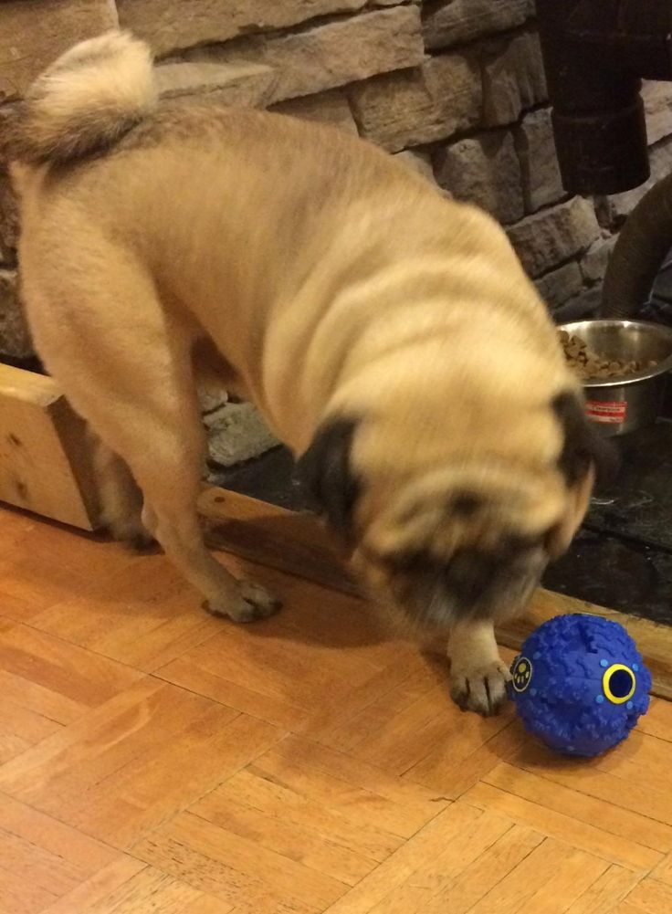 A fellow Pug looks like he/she is going crazy with this smaller version of the Teeza Treat ball.